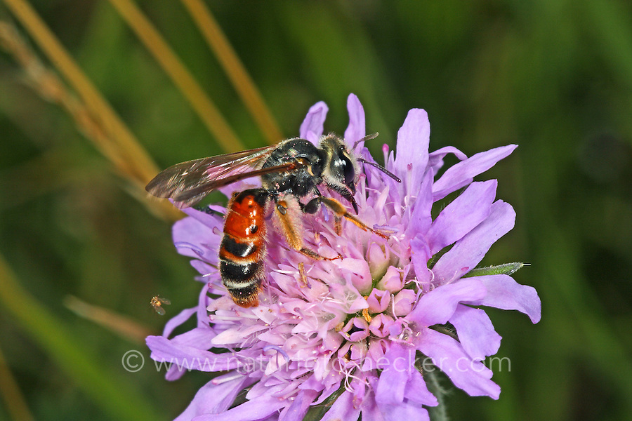 Knautien-Sandbiene, Knauten-Sandbiene, Knautien-Erdbiene, Andrena hattorfiana, Scabious Mining Bee, mining bees