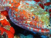 the colors of this lizardfish sre just fluoresent. Underwater photos around Maui water.<br /> Fotos bajo el agua de las costas de Maui,Hawaii.