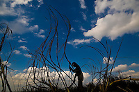 Silhouette of sugarcane cutter in the field, Pederneiras city region, Sao Paulo State, Brazil.