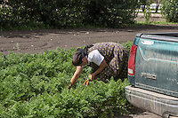A Hutterite woman picks vegetables in a New Rosedale Hutterites colony field in Manitoba, Monday August 17, 2015. Hutterites are am ethno-religious group who, like the Amish and Mennonites, trace their roots to the Radical Reformation of the 16th century.