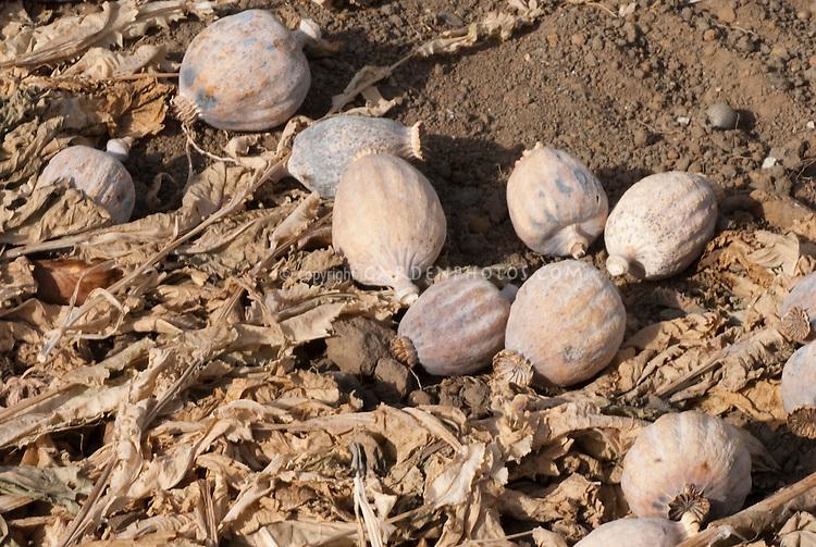 how to get opium seeds