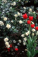 Gardenia jasminoides aka G. veitchii and Tulipa red spring tulip bulbs