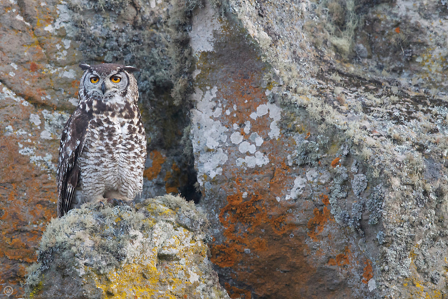 A master at camouflage the Abyssinian owl waits patiently for movement in the grasses below his rock perch.