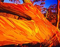 Snow gum tree at timberline of Mt. Field, Mt. Field National Park, Tasmania, Australia