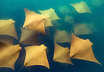 Golden Cownose Rays, Galapagos