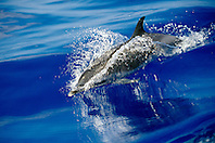 pantropical spotted dolphin wake-riding, Stenella attenuata, off Kona Coast, Big Island, Hawaii, Pacific Ocean