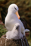 Black-browed albatross, Falkland Islands