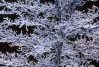 799451088 a rime ice covered black oak quercus kelloggii in yosemite national park california