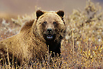 Brown bear, Denali National Park, Alaska, USA