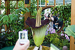 "Titan arum, Amorphophallus titanum, blooming at the Conservatory of Flowers in Golden Gate Park, San Francisco, California, in May 2005.  Native to Sumatra, it is also known as the corpse flower because of its putrid smell, which attracts insect pollinators.  The ""flower"" is actually a cluster of hundreds of smaller flowers which together reach a height of up to nine feet, making it the largest reproductive organ of any plant in the world."