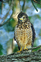 542170008 a wild roadside hawk buteo magnarostris rousts while perched on a tree limb in a tall tree on a private ranch in tamaulipas state mexico