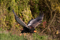 Bateleur Eagle (Terathopius ecaudatus) adult flying. Captivity.