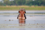 Gonna need a bigger boat...<br /> <br /> Hippopotamus (Hippopotamus amphibius), Kwara Reserve, Okavango Delta, Botswana