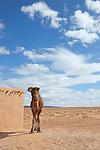 Domedary (camel) in the Sahara desert against cloudy blue sky.