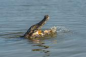 Yacare Caiman (Caiman yacare) eating fish, Pantanal, Mato Grosso, Brazil.