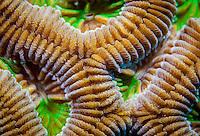 Boulder brain coral (Colpophyllia natans); Roatan, Honduras.