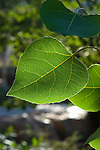 The perfect aspen leaf. Think green landscaping, close up image of veins in aspen leaf.
