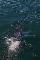 Great White Shark (Carcharodon carcharias) adult attacking with open mouth, False Bay, South Africa.
