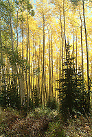 fall colors on Bonanza Flats, above Deer Valley, Utah USA