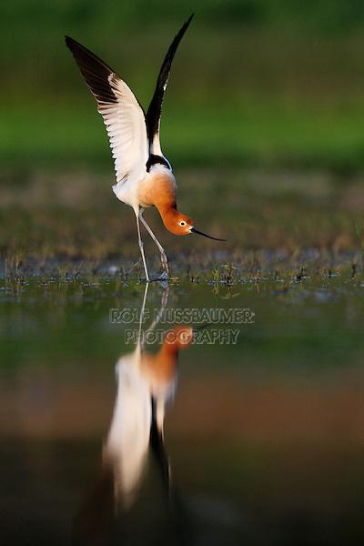 American Avocet (Recurvirostra americana), male stretching wings, Dinero, Lake Corpus Christi, South Texas, USA