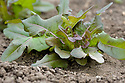 Young 'Bronze Arrow' lettuces in early June, about nine weeks after sowing.