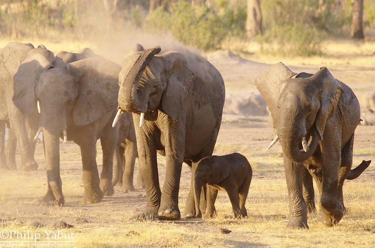 Elephants take a dust bath near a watering hole in Hwange National Park, Zimbabwe.