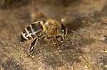 Honey Bee, Apis mellifera, workers fanning hive entrance,  abdomen in air, flapping wings, social, network, .United Kingdom....