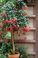 Fuchsia 'Lord Beaconsfield' trained as a standard in container po for big effect in small space, specimen