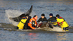 JAMES BOARDMAN / 07967642437 - 01444 412089 .Rescuers try and coaks a stranded seven-tonne Northern bottle-nosed whale from the river Thames. .... .