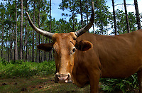 WILMA, FL. 9/8/05-A Cracker cow pauses while roaming Thursday in the Apalachicola National Forest near Wilma. COLIN HACKLEY PHOTO
