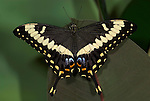 Papilio ophidocephalus Butterfly, swallowtail, colourful, eye spots, black yellow on leaf.Africa....