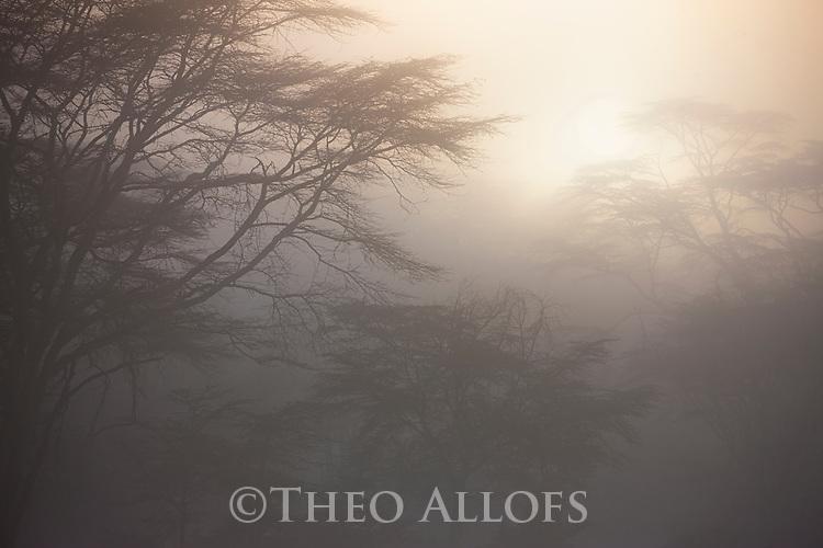 Kenya, Lake Nakuru National Park, acacia forest in morning fog