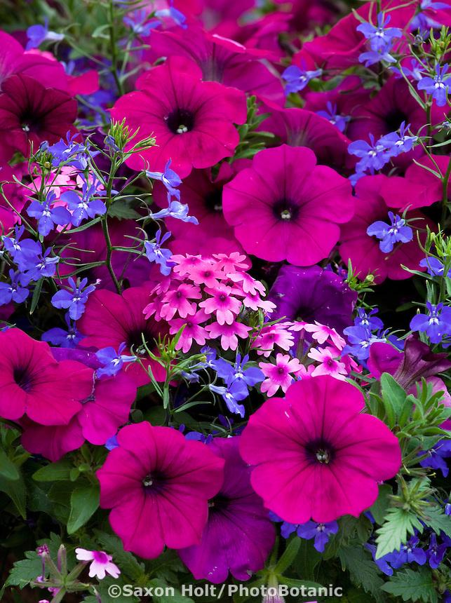 Petunia, 'Night in Pompeii' flowering container mix with diascia, and lobelia