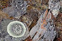 Lichen, Brooks range mountains, Gates of the Arctic National Park, Alaska.