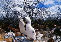 Blue-footed Booby bird feeds juvenile on Galapagos Islands, Ecuador
