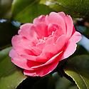 Camellia japonica 'Castle Grace', mid March.