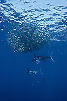 qf0460-D. Striped Marlin (Tetrapturus audax), feeding on Pacific Sardines (Sardinops sagax). Baja, Mexico, Pacific Ocean..Photo Copyright © Brandon Cole. All rights reserved worldwide.  www.brandoncole.com..This photo is NOT free. It is NOT in the public domain. This photo is a Copyrighted Work, registered with the US Copyright Office. .Rights to reproduction of photograph granted only upon payment in full of agreed upon licensing fee. Any use of this photo prior to such payment is an infringement of copyright and punishable by fines up to  $150,000 USD...Brandon Cole.MARINE PHOTOGRAPHY.http://www.brandoncole.com.email: brandoncole@msn.com.4917 N. Boeing Rd..Spokane Valley, WA  99206  USA.tel: 509-535-3489