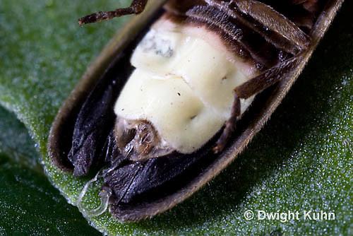 1C24-659z  Pyralis Firefly light close-up Male Lightning Bug - Photinus spp