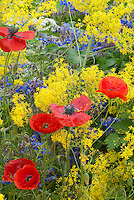 Isatis tinctoria (Woad), red poppies + herb Borago officinalis borage in a yellow, red and blue flowers and herb garden color theme interplanted