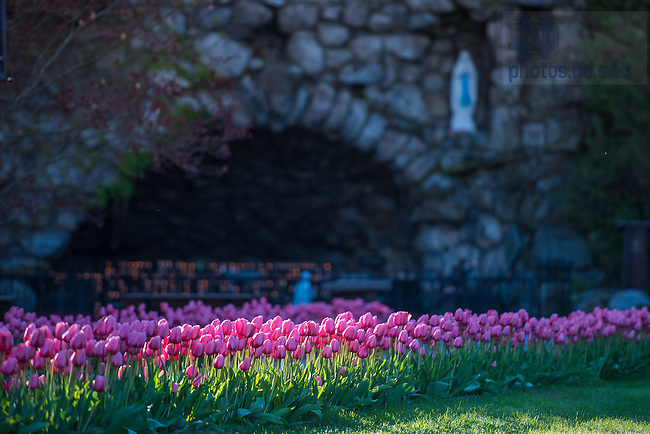 May 1, 2015; Tulips at the Grotto. (Photo by Matt Cashore/University of Notre Dame)