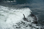 Two shiny and sleek dolphins playing in the wake behind the boat