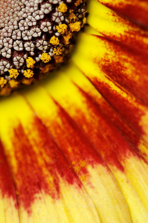 close-up of a Painted daisy (Chrysanthemum carinatum) flower - commercial/editorial licensing for this image is available through: http://www.gettyimages.com/detail/200457421-002/Stone