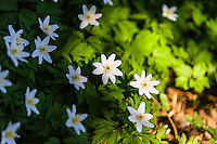 Norway, Stavanger. Wood anemones.