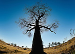 The Baobab tree of Africa is known as the upside-down tree;