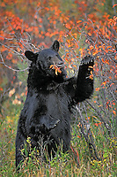 Black Bear eating chokecherries..Autumn. Rocky Mountains..(Ursus americanus).