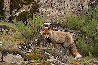 Red Fox (Vulpes vulpes).Sierra de Andújar Natural Park, Mediterranean woodland of Sierra Morena, north east Jaén Province, Andalusia. SPAIN..Mission: Iberian Lynx, May 2009