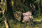 Roosevelt elk bull and cow, Hoh Rainforest, Olympic National Park, Washington, USA