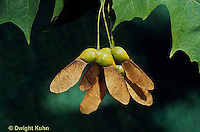 MP08-006b  Sugar Maple - seeds - Acer saccharum
