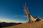 Bristlecone pine at sunrise, White Mountains, CA just east of Bishop.