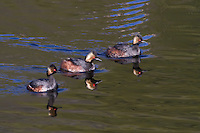 The Eared Grebe (Podiceps californicus) sexes are virtually identical, but here there are two males vying for the attention of one female.